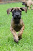 Foto 2 Deutsche Dogge mit Stammbaum Welpen