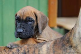 Foto 5 Deutsche Dogge mit Stammbaum Welpen