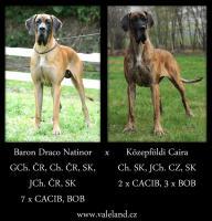 Foto 6 Deutsche Dogge mit Stammbaum Welpen