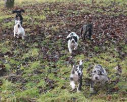 Foto 2 Deutsche Dogge mit Stammbaum schwarz und gefleckt