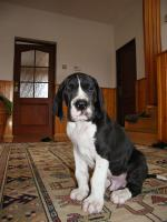 Foto 2 Deutsche Dogge Welpen