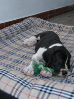 Foto 6 Deutsche Dogge Welpen