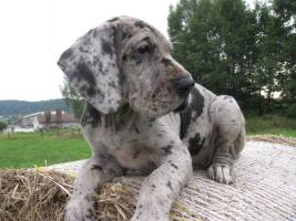 Deutsche Dogge Welpen zu Abnahme