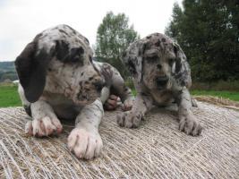 Foto 3 Deutsche Dogge Welpen zu Abnahme