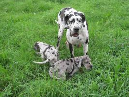 Foto 4 Deutsche Dogge Welpen zu Abnahme