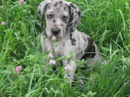 Foto 5 Deutsche Dogge Welpen zu Abnahme