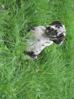 Foto 6 Deutsche Dogge Welpen zu Abnahme
