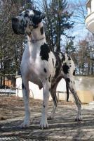 Deutsche Dogge Welpen mit Stammbaum in Farbe schwarz und gefleckt