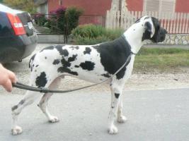Foto 3 Deutsche Dogge Welpen mit Stammbaum in Farbe schwarz und gefleckt