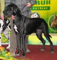 Foto 5 Deutsche Dogge Welpen mit Stammbaum in Farbe schwarz und gefleckt