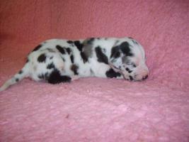 Foto 2 Deutsche Dogge Welpen mit VDH / FCI Pap. Eltern HD/ED frei