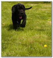 Foto 2 Deutsche Dogge Welpen zu verkaufen