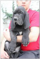 Foto 3 Deutsche Dogge Welpen zu verkaufen