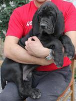 Foto 4 Deutsche Dogge Welpen zu verkaufen