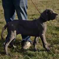 Deutsche Dogge in blau