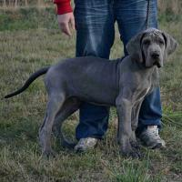 Foto 2 Deutsche Dogge in blau