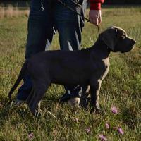 Foto 3 Deutsche Dogge in blau
