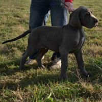 Foto 4 Deutsche Dogge in blau
