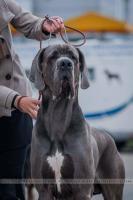 Deutsche Dogge blau mit Papiere–RESERVATION