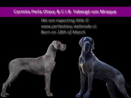 Foto 3 Deutsche Dogge blau mit Papiere–RESERVATION