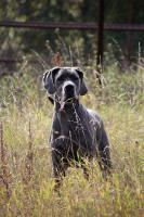 Foto 3 Deutsche Dogge in blau Welpen mit Papiere
