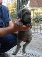 Foto 3 Deutsche Dogge blau Welpen mit Papiere