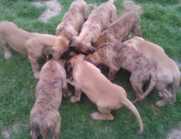 Foto 3 Deutsche Dogge gelb gestromt