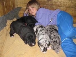 Deutsche Dogge schwarz und gefleckt Welpen