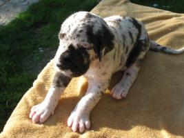 Foto 4 Deutsche Dogge schwarz und gefleckt Welpen