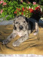 Foto 5 Deutsche Dogge schwarz und gefleckt Welpen