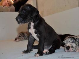 Foto 2 Deutsche Dogge schwarz, gefleckt, grauer tyger