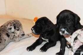 Foto 3 Deutsche Dogge schwarz, gefleckt, grauer tyger