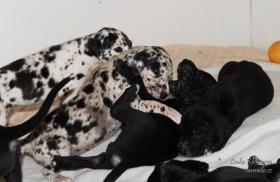 Foto 5 Deutsche Dogge schwarz, gefleckt, grauer tyger