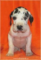 Foto 3 Deutsche Dogge sehr schöne Welpen