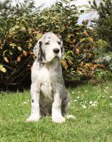 Foto 3 Deutsche Dogge - Welpe - Hündin mit Ahnentafel und Pet-pass