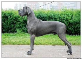 Deutsche Dogge - blau