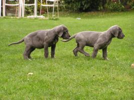 Foto 2 Deutsche Dogge - blau