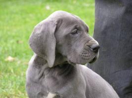 Foto 3 Deutsche Dogge - blau