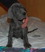 Foto 4 Deutsche Dogge - blau