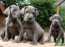 Deutsche Dogge, blaue Doggenwelpen VDH/DDC