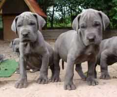 Foto 2 Deutsche Dogge, blaue Doggenwelpen VDH/DDC
