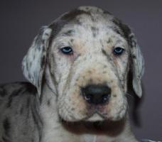 Foto 2 Deutsche Doggen Baby's suchen ein zu Hause
