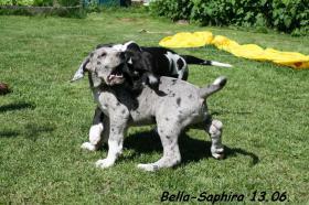 Foto 4 Deutsche Doggen vom Haus Heinbach VDH/FCI KyDD