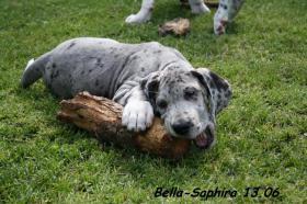 Foto 5 Deutsche Doggen vom Haus Heinbach VDH/FCI KyDD