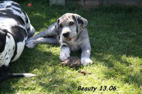 Foto 8 Deutsche Doggen vom Haus Heinbach VDH/FCI KyDD