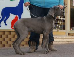 Deutsche Doggen Hündin blau, 16 Wochen