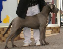 Foto 2 Deutsche Doggen H�ndin blau, 7 Monate