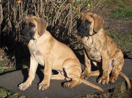 Foto 2 Deutsche Doggen Welpen
