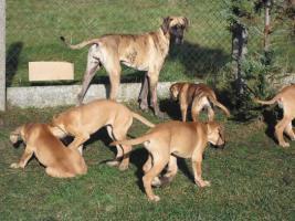 Foto 4 Deutsche Doggen Welpen