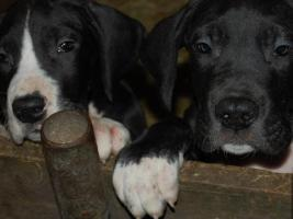 Foto 5 Deutsche Doggen Welpen